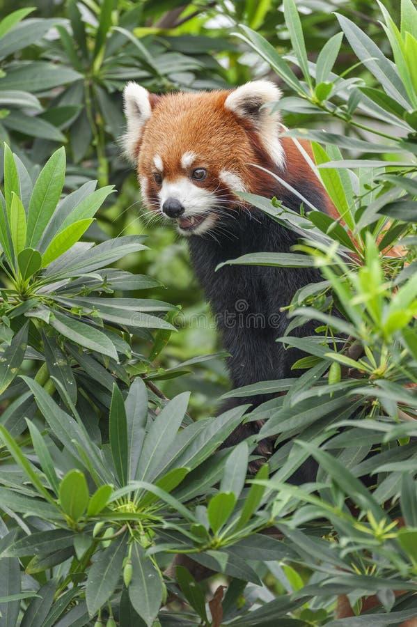 Retrato da panda vermelha, Firefox fotos de stock royalty free