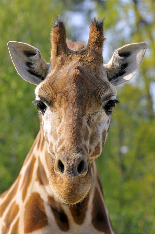 Retrato da parte dianteira do Giraffe imagens de stock