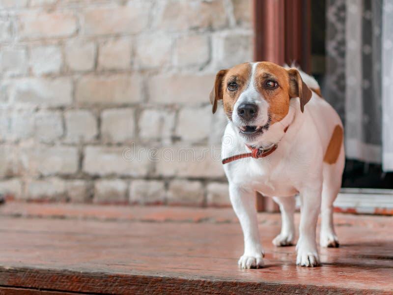 Retrato da parte dianteira da parte externa ereta do terrier pequeno bonito de Russel do jaque do cão no patamar de madeira da ca fotos de stock