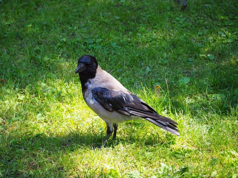 Retrato da posição cinzenta grande do corvo na grama verde na luz do sol fotografia de stock