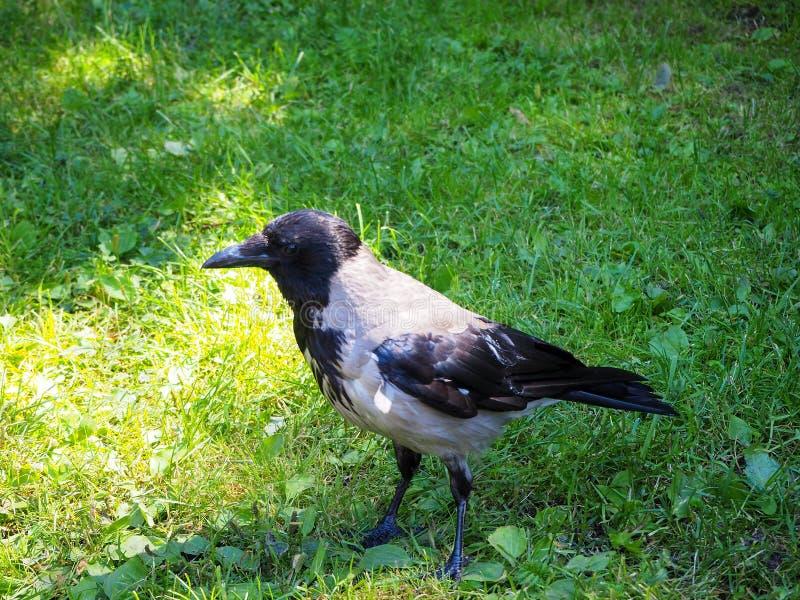Retrato da posição cinzenta grande do Corvus do corvo na grama verde foto de stock