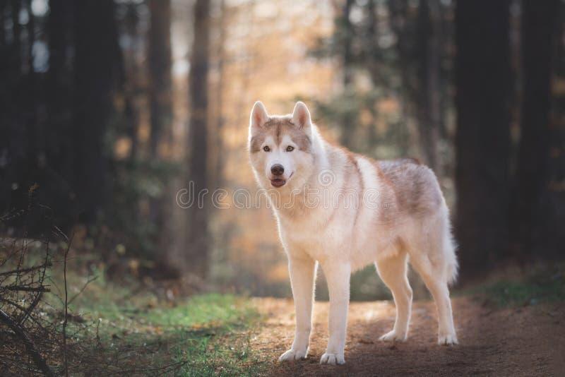 Retrato da posição ronca Siberian da raça bege bonita e prideful do cão na floresta brilhante da queda no por do sol imagem de stock