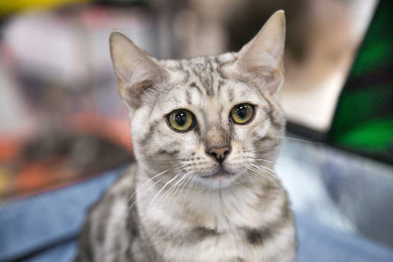 Retrato da raça alegre Bengal do gatinho de prata Foco seletivo imagens de stock royalty free