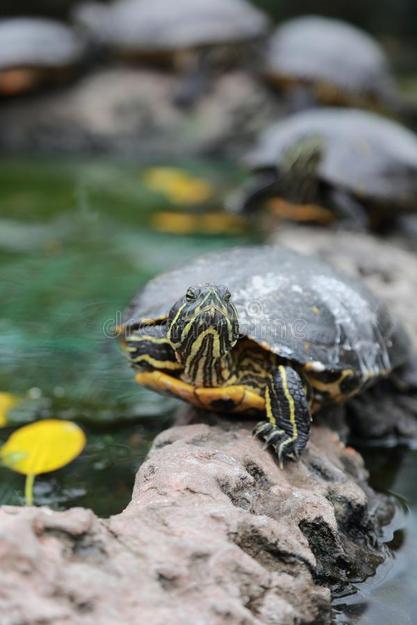 Retrato da tartaruga foto de stock
