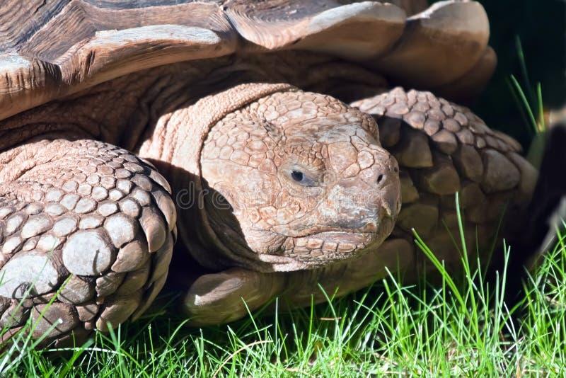 Retrato da tartaruga fotografia de stock royalty free