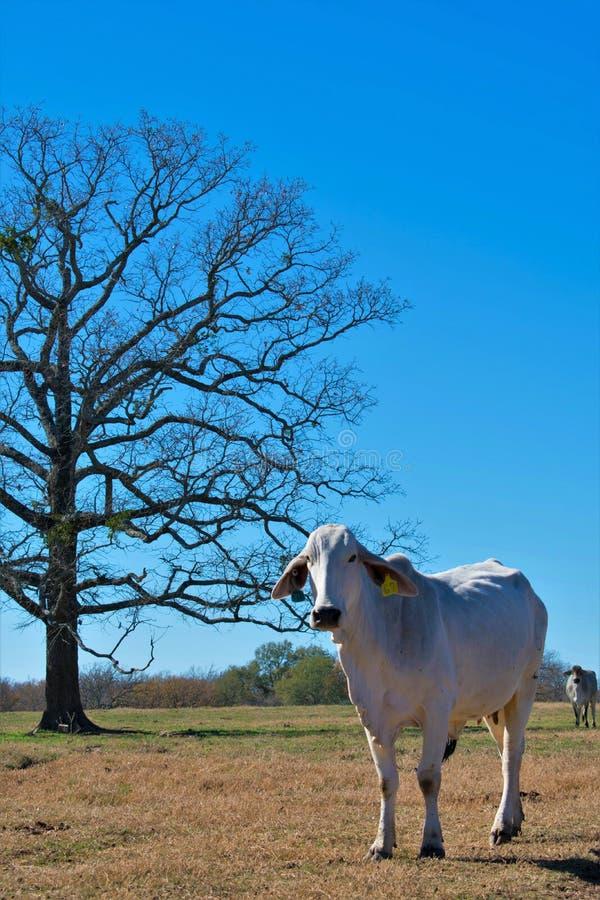 Retrato da vaca de Brahma fotografia de stock royalty free