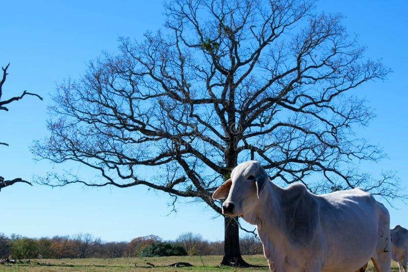 Retrato da vaca de Brahma imagem de stock