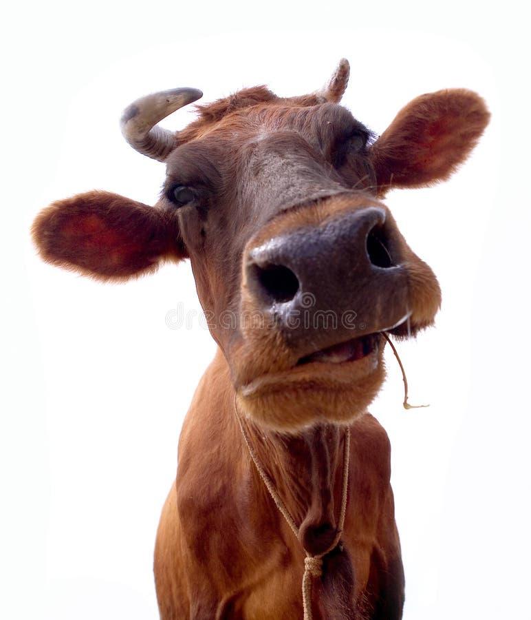 Retrato da vaca de Brown foto de stock royalty free