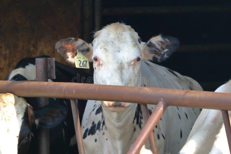 Retrato da vaca de leiteria da bezerra imagens de stock