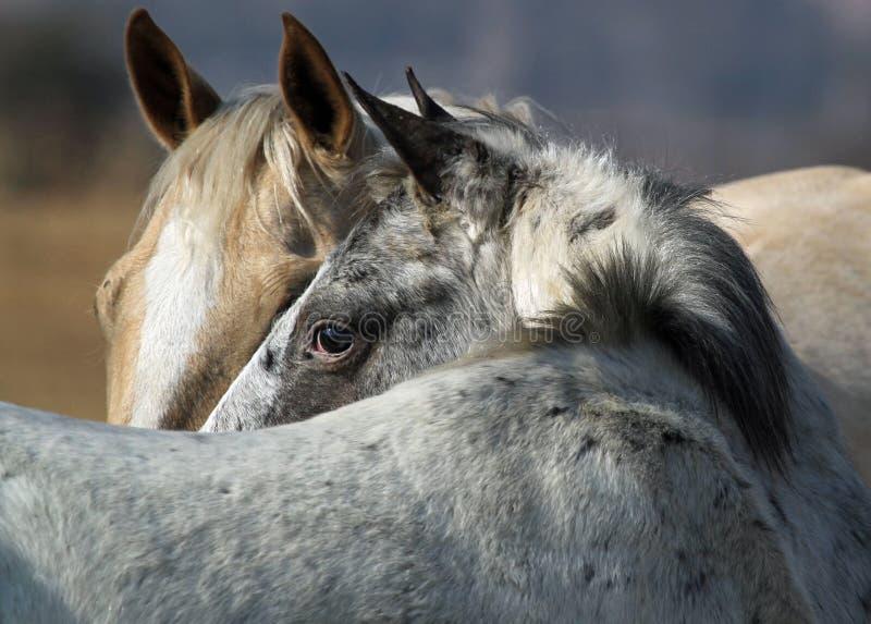 Retrato da vista dos cavalos imagens de stock