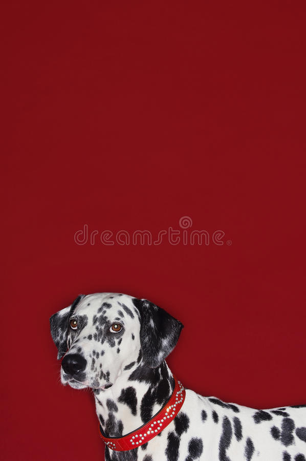 Retrato da vista lateral do Dalmatian colhido foto de stock royalty free
