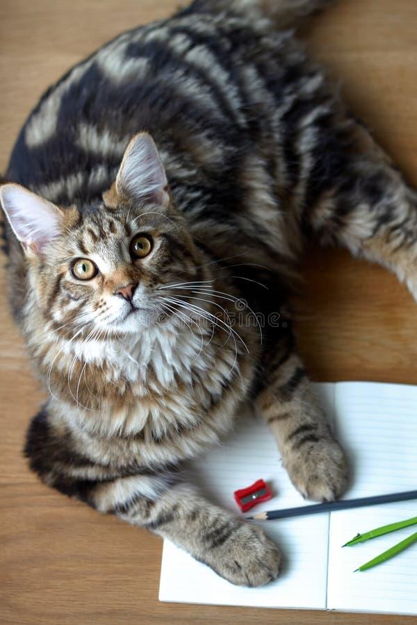 Retrato da vista superior de mentiras do gato de Maine Coon em uma tabela de madeira em um caderno e em um lápis abertos, apontad fotografia de stock