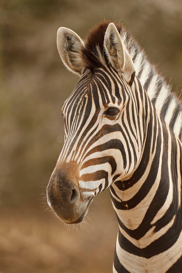 Download Retrato da zebra imagem de stock. Imagem de áfrica, cabelo - 26514719