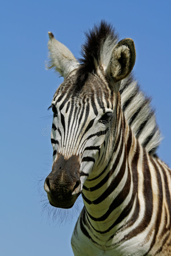 Retrato da zebra das planícies foto de stock