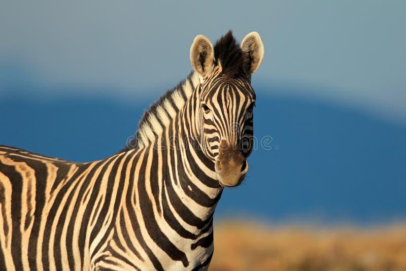 Retrato da zebra das planícies fotografia de stock royalty free