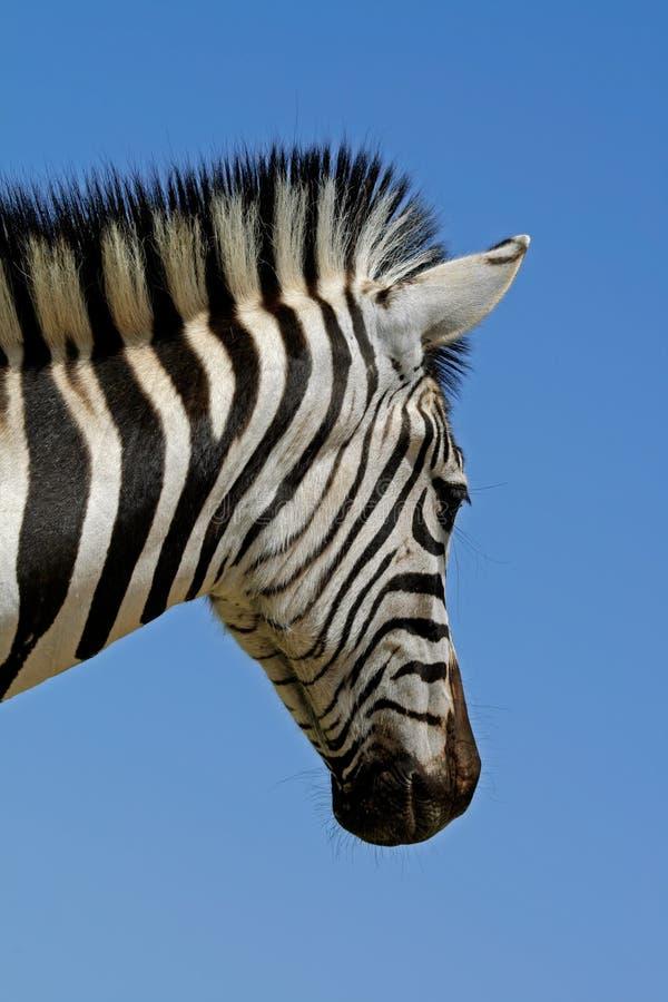 Retrato da zebra das planícies fotos de stock