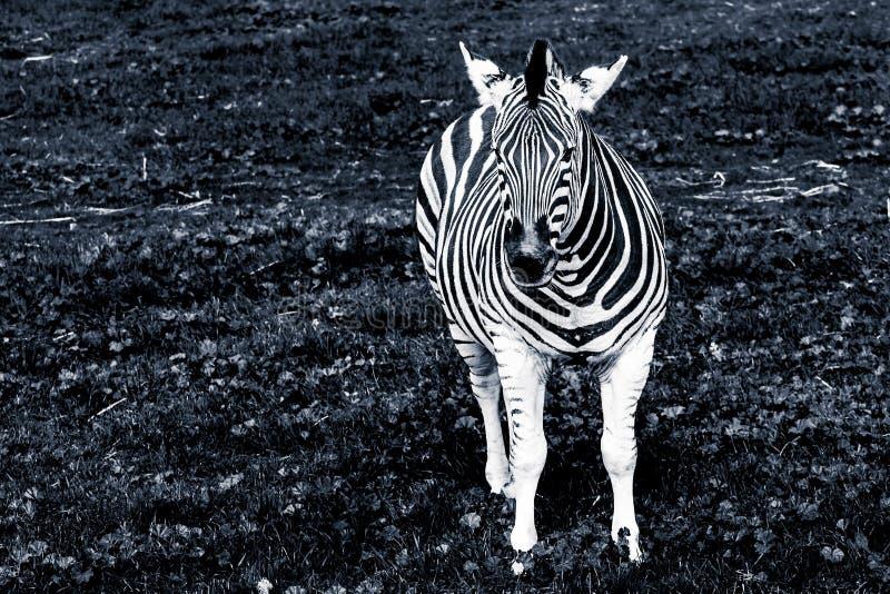 Retrato da zebra das planícies em preto e branco fotografia de stock royalty free