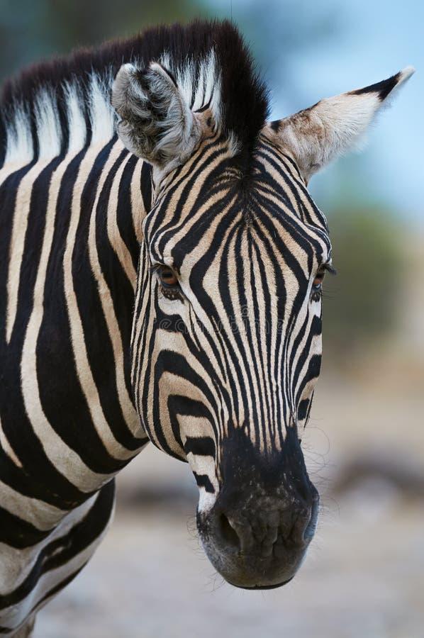 Retrato da zebra de Burchell imagem de stock royalty free