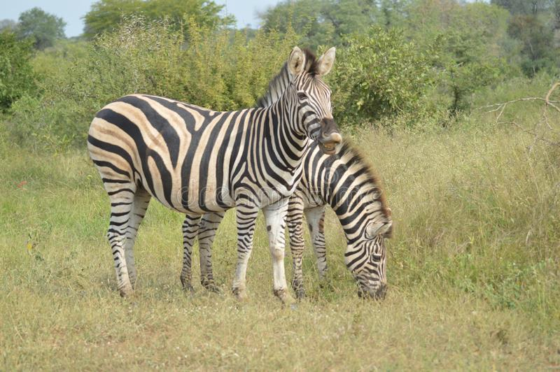 Retrato da zebra de um Burchell em uma reserva natural em África do Sul foto de stock