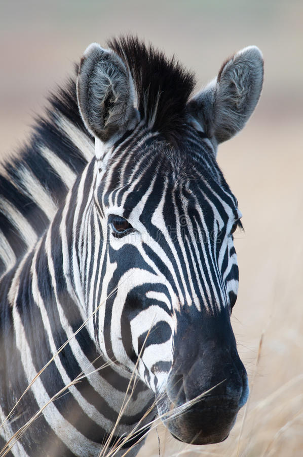 Retrato da zebra deixado foto de stock royalty free