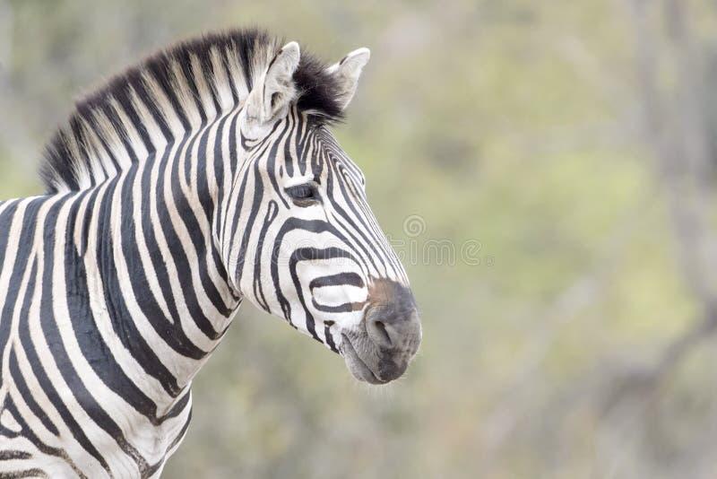 Retrato da zebra do ` s de Burchell, vista lateral imagens de stock
