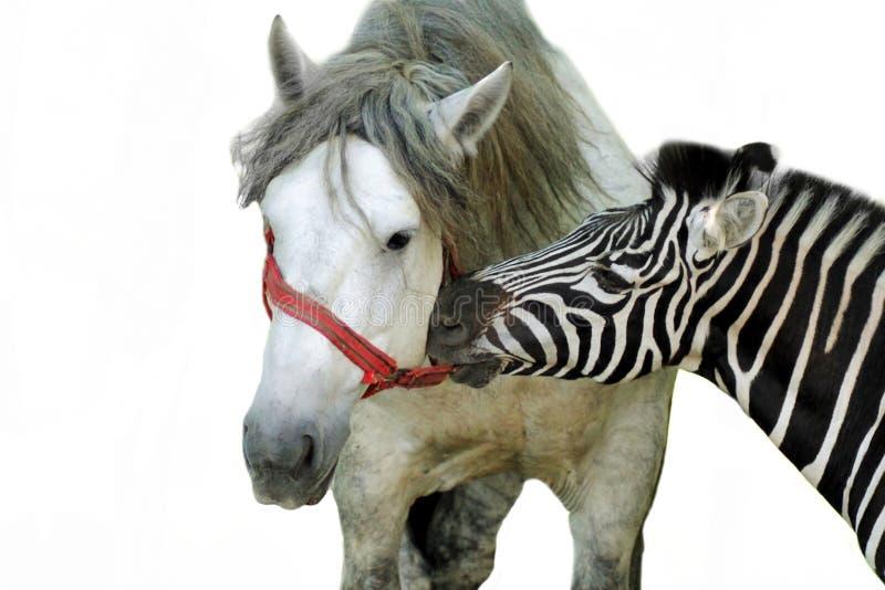 Retrato da zebra e do cavalo foto de stock