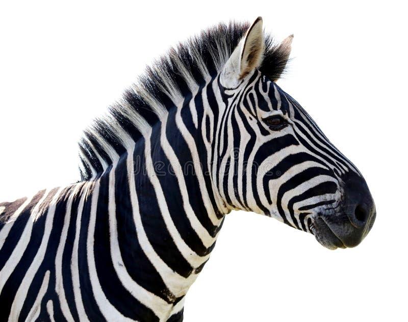 Retrato da zebra - isolado imagem de stock
