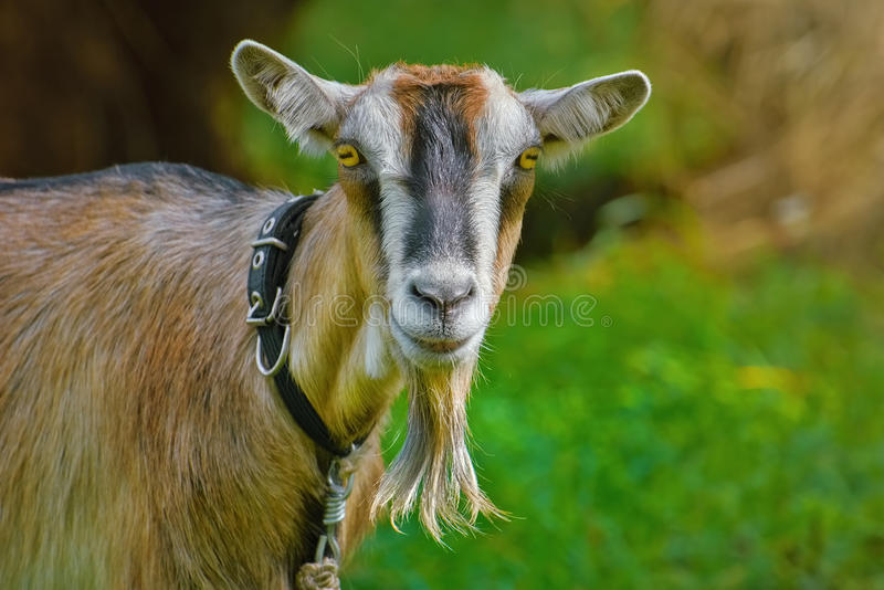 Retrato de Billy Goat imagem de stock