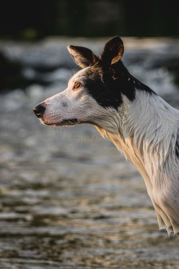 Retrato de border collie com fundo da água imagem de stock royalty free