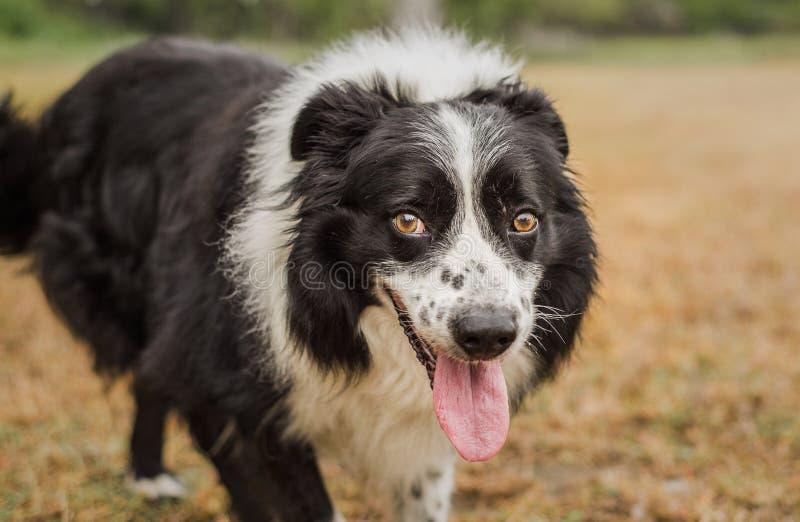 Retrato de border collie preto e branco bonito, superior foto de stock royalty free