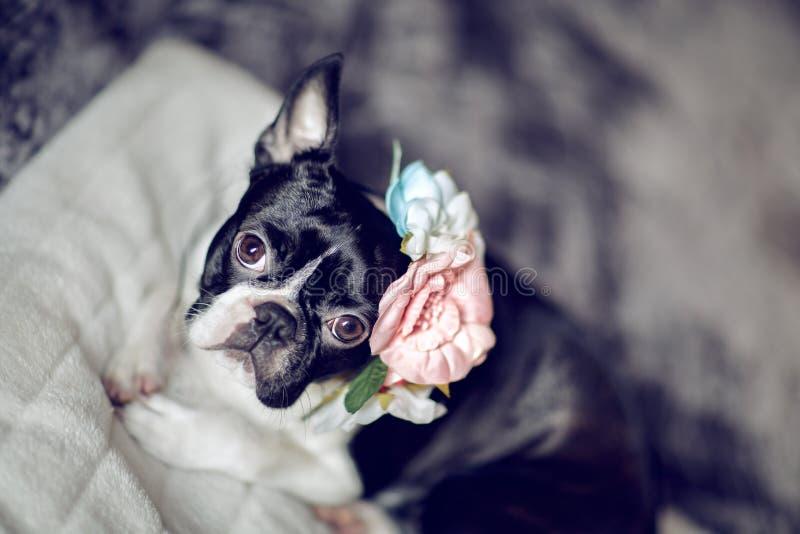 Retrato de Boston Terrier imagem de stock royalty free