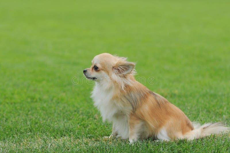 Retrato de cabelos compridos do cão da chihuahua fotografia de stock royalty free