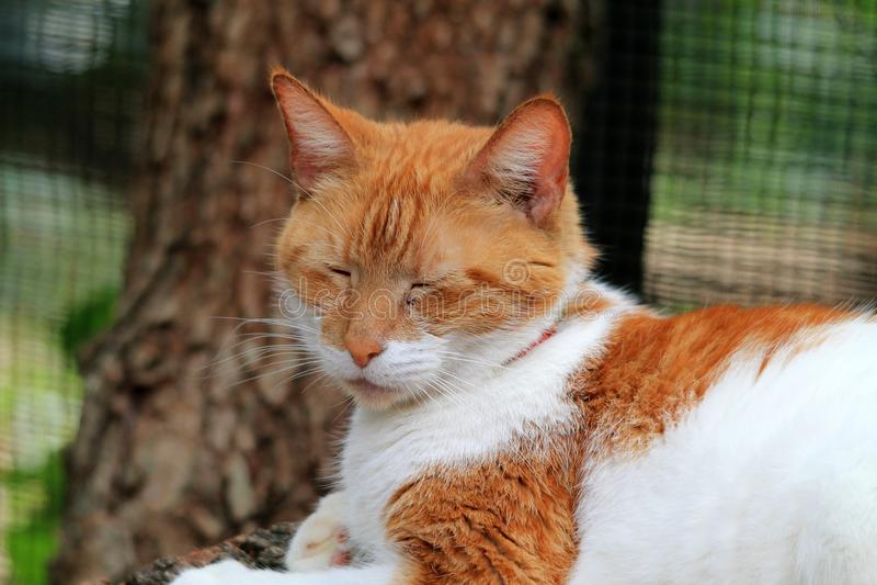 Retrato de cabelos curtos doméstico alaranjado e branco do gato foto de stock