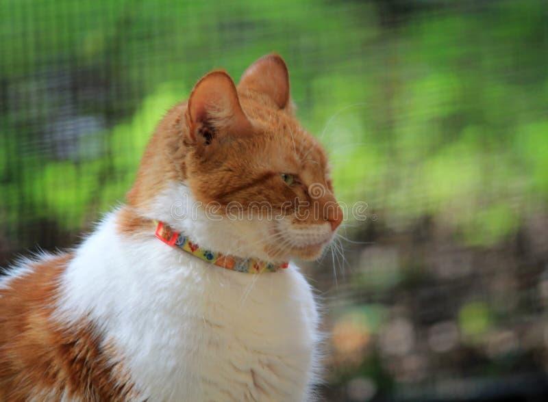 Retrato de cabelos curtos doméstico alaranjado e branco do gato imagem de stock