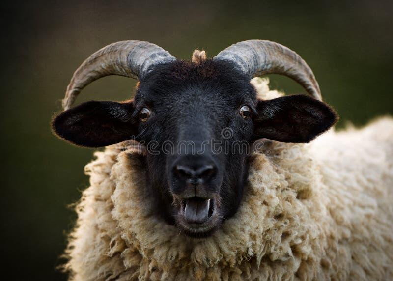 Retrato de carneiros do chifre de Norfolk foto de stock