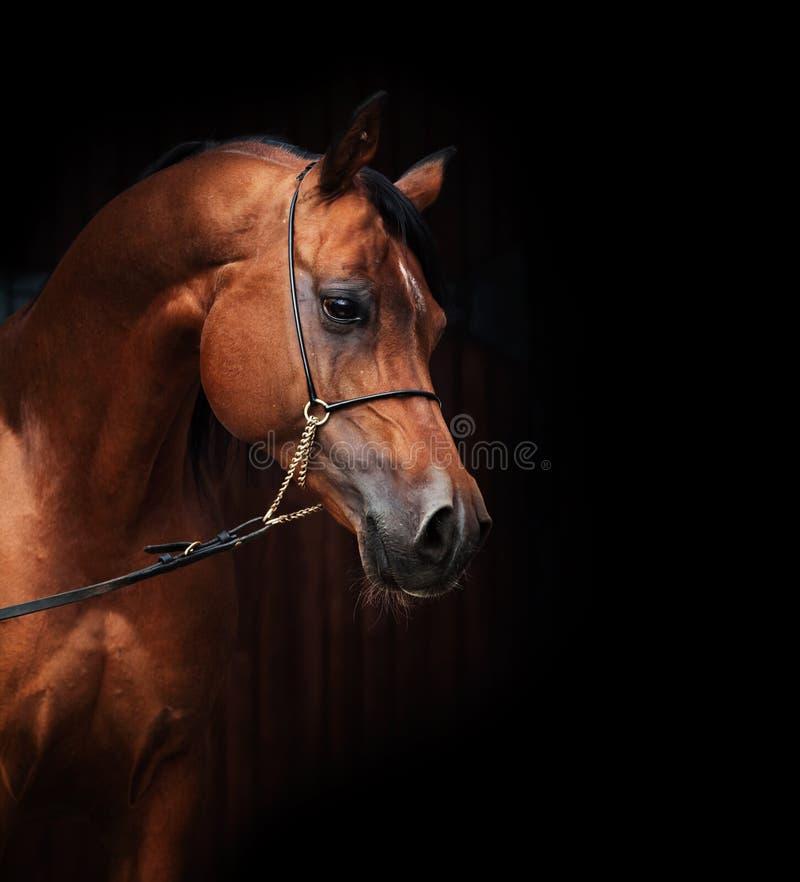 Retrato de cavalo surpreendente do arabian da baía imagem de stock royalty free