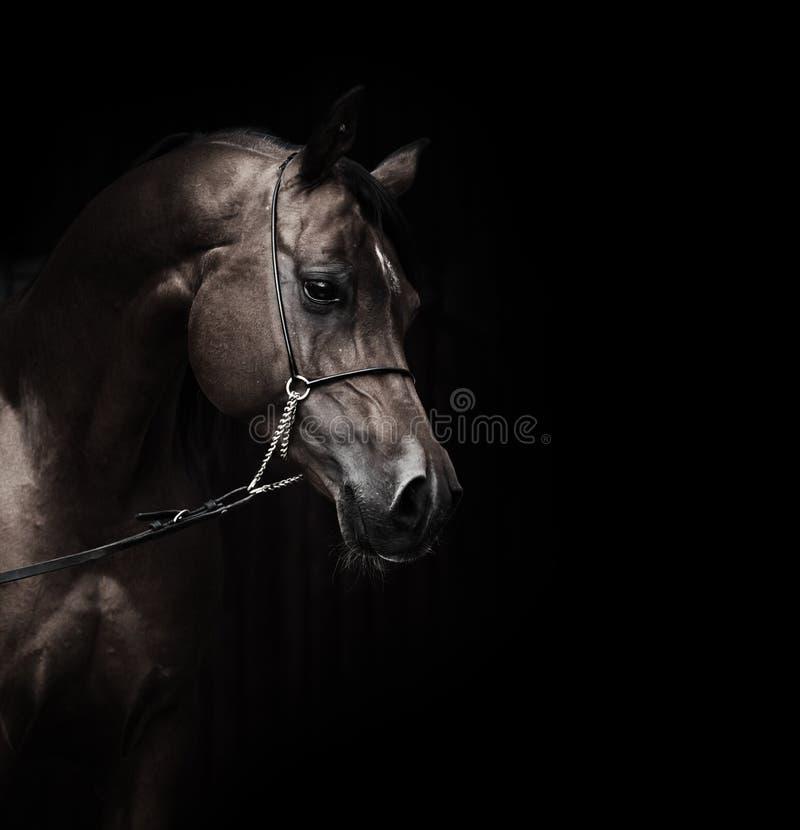 Retrato de cavalo surpreendente do arabian da baía fotos de stock royalty free