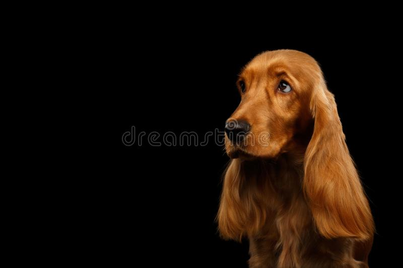 Retrato de cerca del espanto de cocker en inglés de perro sobre un fondo negro aislado foto de archivo libre de regalías