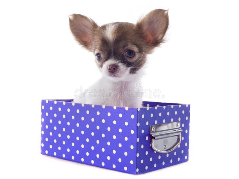 Chihuahua na caixa imagens de stock