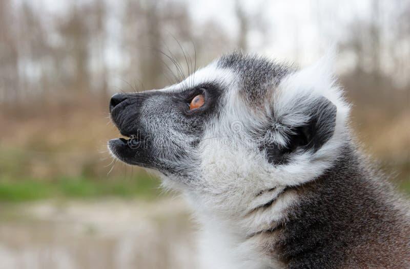 Retrato de cierre Lemur en anillo, un gran primate gris con ojos dorados fotografía de archivo libre de regalías