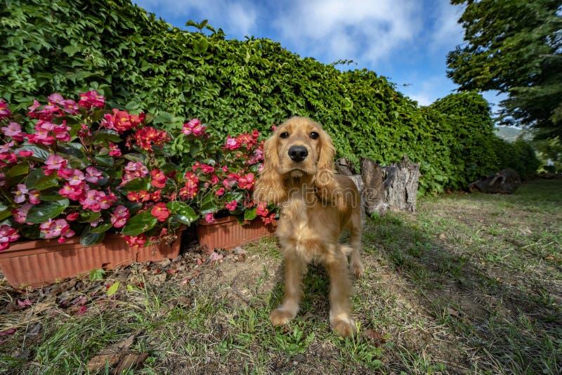 Retrato de cocker spaniel del perro de perrito que le mira en el patio imágenes de archivo libres de regalías