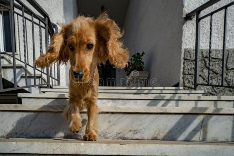 Retrato de cocker spaniel del perro de perrito que va abajo de la escalera fotografía de archivo