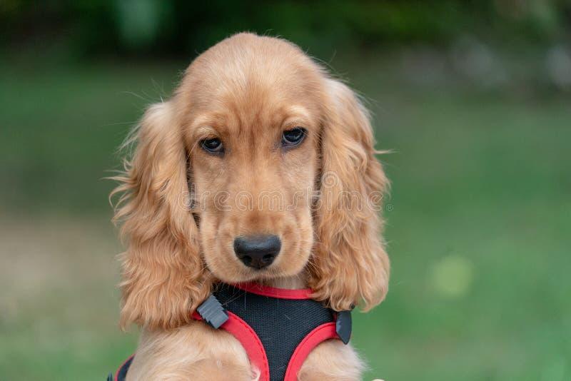 Retrato de cocker spaniel do cão de cachorrinho na grama fotografia de stock royalty free