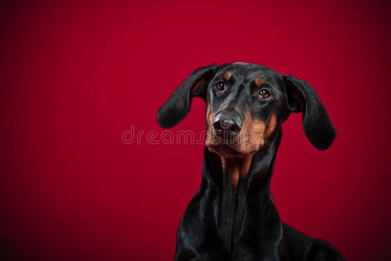 Retrato de Dobermann imagen de archivo