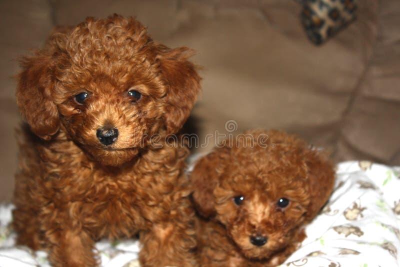 Retrato de dois cachorrinhos vermelhos da caniche de brinquedo fotografia de stock royalty free