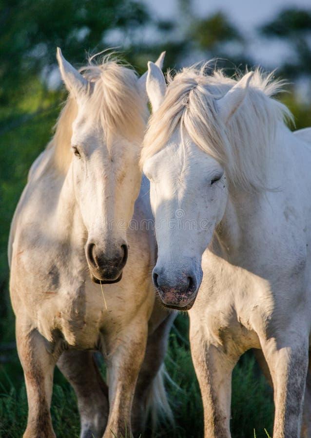 Retrato de dois cavalos brancos de Camargue Parc Regional de Camargue france Provence imagem de stock