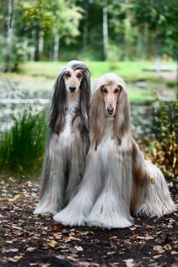 Retrato de dois galgos afegãos, bonito, aparência da exposição de cães imagens de stock royalty free