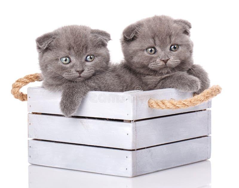 Retrato de dois gatinhos escoceses imagem de stock royalty free