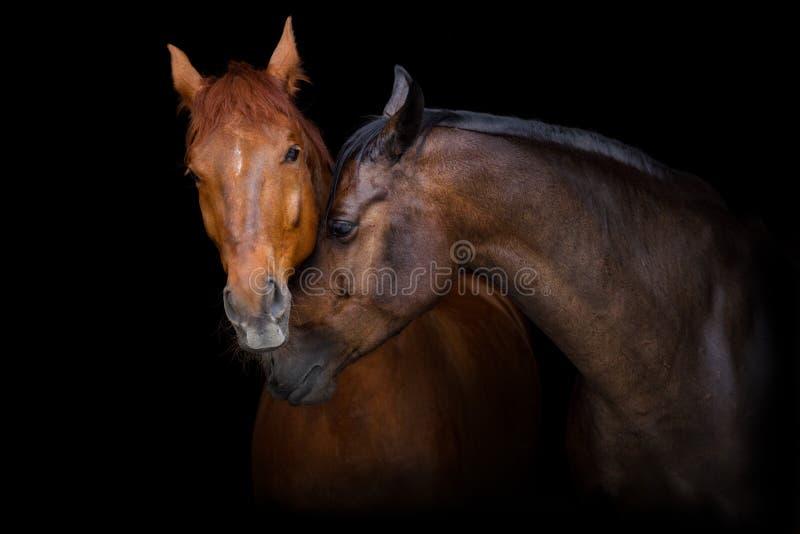 Retrato de dos caballos foto de archivo