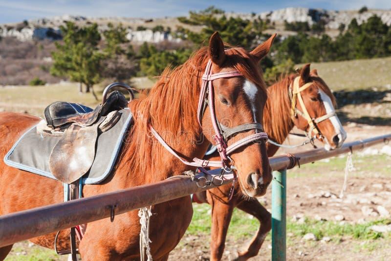 Retrato de dos caballos rojos en un prado fotos de archivo